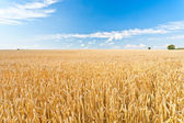 Ripe wheat field — Foto Stock
