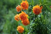Globe-flower — Stok fotoğraf