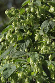Wild hop — Stock Photo