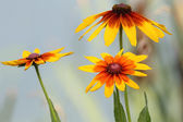 Rudbeckia (Black-Eyed Susan) — Stock Photo
