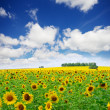 Stock Photo: Sunflowers field under cloudy sky