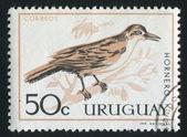 Rufous Ovenbird — Stock Photo