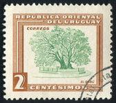 Ombu tree — Stock Photo