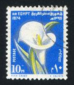 Calla flower — Stock Photo