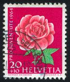 Flower rose — Stock Photo