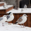 Seagull at winter time — Stock Photo #11173622