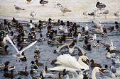 Rackové za kachny na zimní čas — Stock fotografie