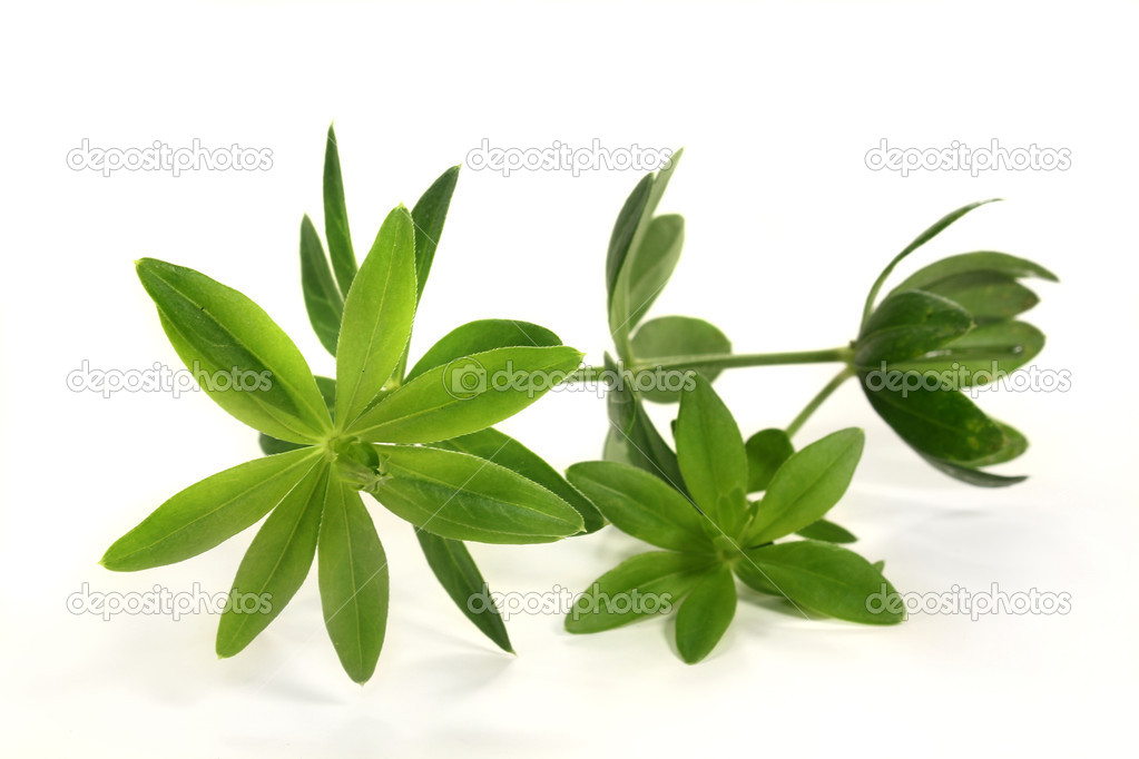 Fresh sweet woodruff in front of white background — Stock Photo #11261275