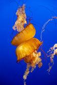 Orange jellyfish in an aquarium — Stock Photo
