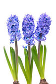 Blue hyacinthes — Stock Photo