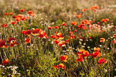 Corn Poppies in a field — Photo