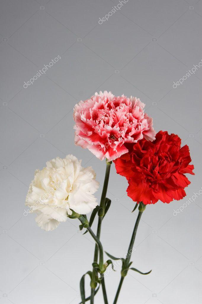 康乃馨花束 — 图库照片08enika100#10845242