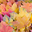 Multi-colored autumn maple leaves — Stock Photo #11118117