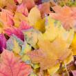 Multi-colored autumn maple leaves — Stock Photo