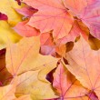 Multi-colored autumn maple leaves — Stock Photo #11118124