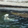 White bear floating on the water — Stock Photo #11538185