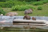 Capybaras — Stock Photo