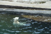 White bear floating on the water — Stock Photo