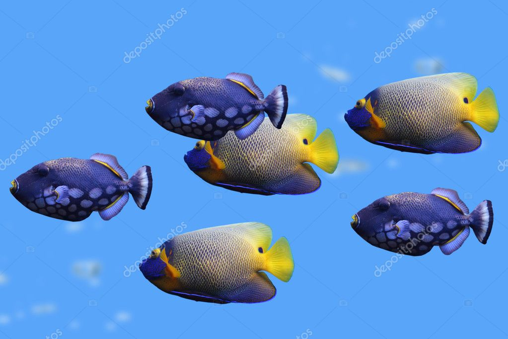Group of fishes (clown trigger and Emperor Angelfish) — Stock Photo #11537855