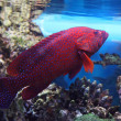 Red tropical fish — Stock Photo