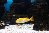 Yellow tropical fish — Stock Photo