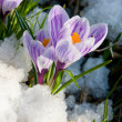 Flowers purple crocus in the snow — Stock Photo #11995704