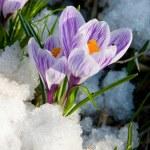 Flowers purple crocus in the snow — Stock Photo #11995704