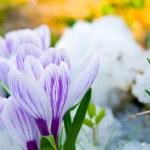 Flowers purple crocus in the snow — Stock Photo #11995864