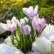 Flowers purple crocus in the snow — Stock Photo #11995867