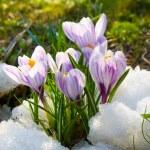 Flowers purple crocus in the snow — Stock Photo #11995867