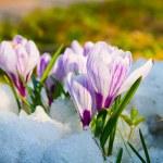 Flowers purple crocus — Stock Photo #11995934