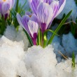 Flowers purple crocus — Stock Photo