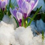 Flowers purple crocus — Stock Photo #11995939