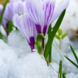 Flowers purple crocus in the snow — Stock Photo