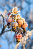 Rose hip with snow — Stock Photo