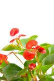 Pink begonia — Stock Photo