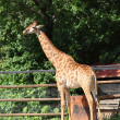 Giraffe — Stock Photo #12075894
