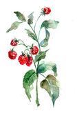 Frambuesa, ilustración acuarela — Foto de Stock