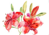 Beautiful Lily flowers, watercolor illustration — Stock Photo
