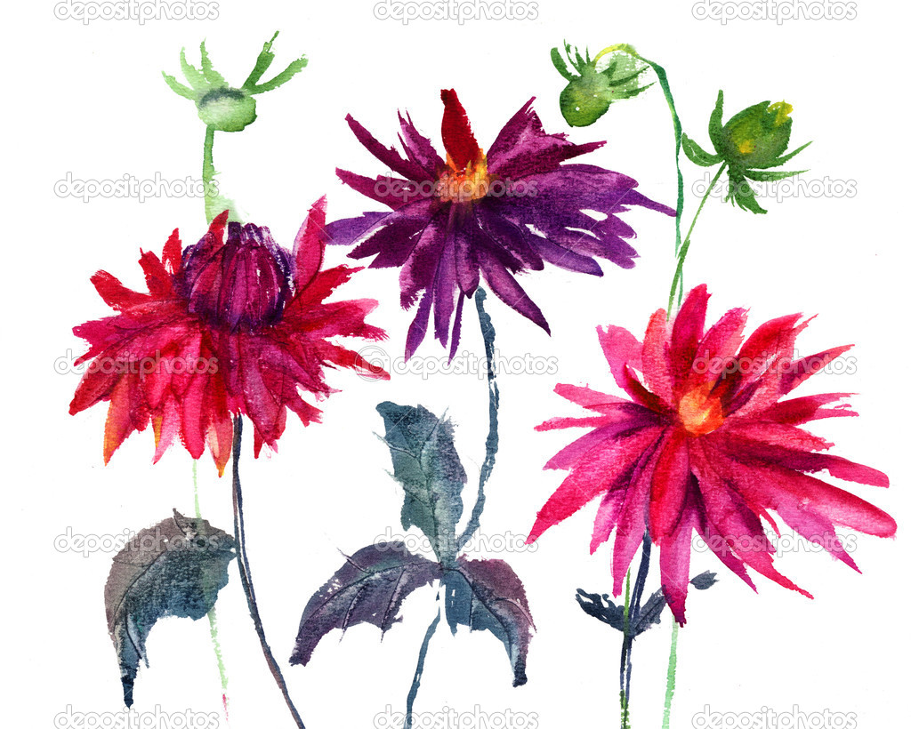 Dahlia flower, watercolor illustration — Stock Photo #12377573