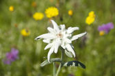Edelweiss leontopodium alpinum — Stock Photo