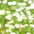 Beautiful daisies in the field — Stock Photo