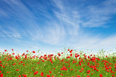 Red poppies on a background of blue sky — Stok fotoğraf