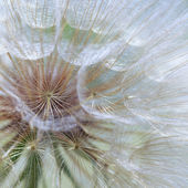 Seeds of a dandelion closeup — Stock fotografie