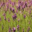 Stock Photo: Lavender sprigs on green