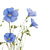 Beautiful flowers of flax — Stock Photo
