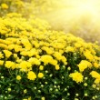 Yellow Chrysanthemums — Stock Photo