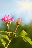 Pink rose flower — Stockfoto