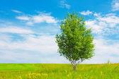 Bétula em prado verde — Foto Stock