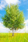 березы на зелёный луг — Стоковое фото